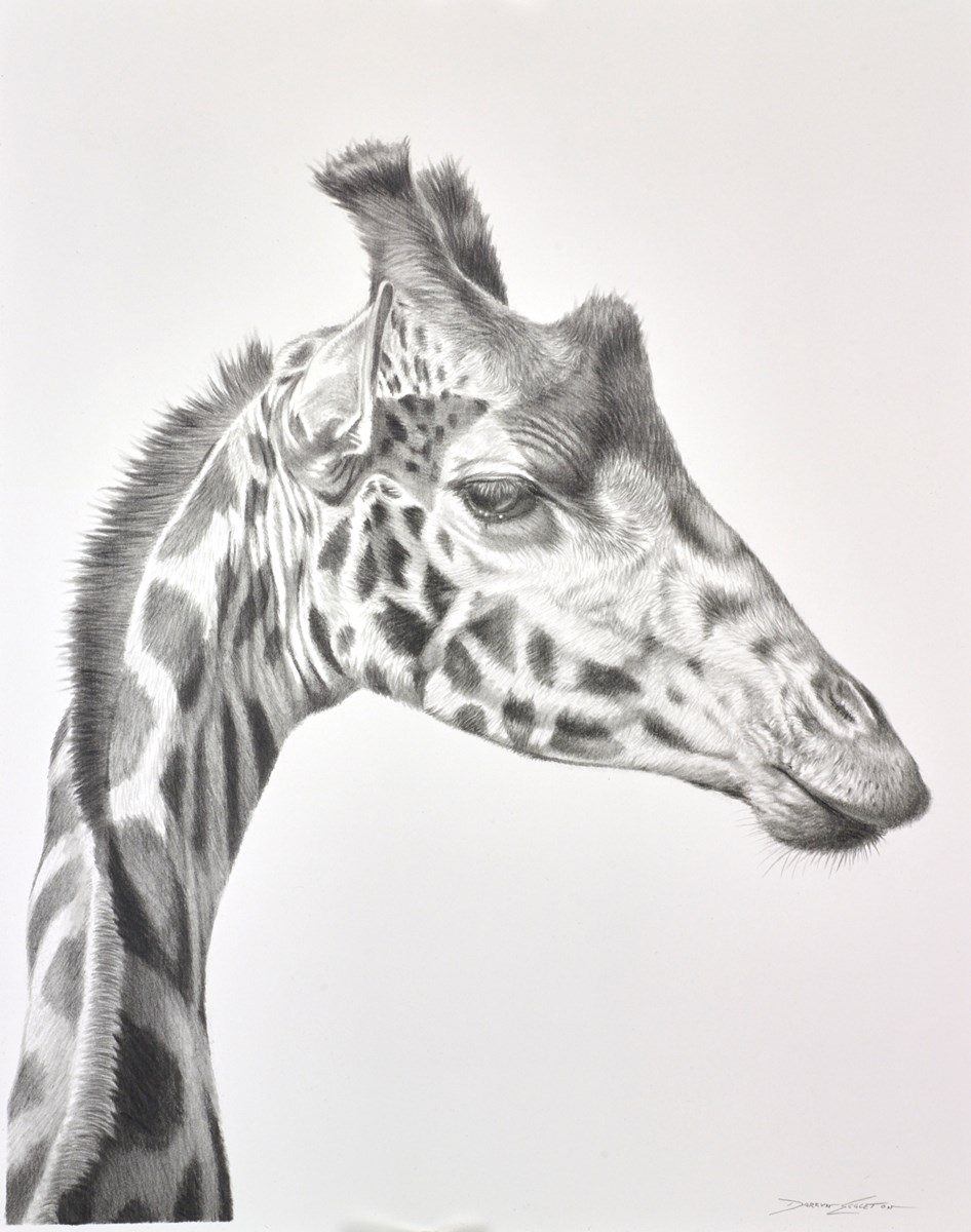 Giraffe Study III by darryn eggleton -  sized 11x14 inches. Available from Whitewall Galleries